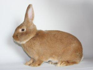 Slovenský pastelový králik