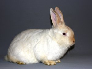 Chrabransky králik